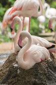 Flamingo rest on ground — Stock Photo