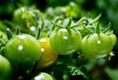 A branch with green tomatoes — Stock Photo