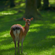 Stock Photo: Telephoto of deer