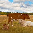 A photo of white and brown cows — Stock Photo