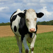 White milch cow with black spots grazing on green grass pasture over blue sky — Stock Photo #13146061