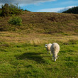 A photo of sheep in New Zealand — Stock Photo #13146068