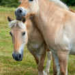 A photo of two loving horses — Stock Photo