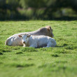 A photo of white cows on a green field — Stock Photo