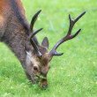 A male deer — Stockfoto