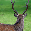 A male deer - Photo