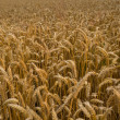 Stock Photo: Telephoto of wheat field