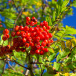A photo of Rowan berries in natural setting - Stock Photo