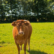 A photo of a red Danish cow — Foto Stock