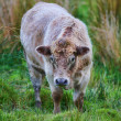 A photo of a Young white cow in New Zealand - Stock Photo