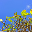 Photo Frangipani (Plumeria) tree — Stock Photo #13146621