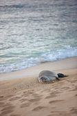 A photo of a seal on a beach, Oahu, Hawaii — Stock Photo