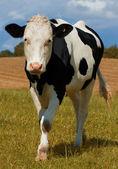 Czarno-białych krów — Zdjęcie stockowe