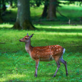 A telephoto of a female deer — Stock Photo