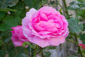 A photo of a pink rose in garden — Stock Photo