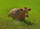 Una foto de una vaca en entorno natural — Foto de Stock