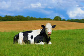 A photo of a black and white cow in natural setting — Stock Photo