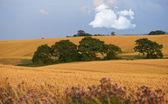 A landscape photo of rape wheat field — Stock Photo
