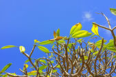 A photo the Frangipani (Plumeria) tree — Stock Photo