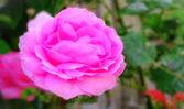 Ein foto von einer rosa rose im garten — Stockfoto