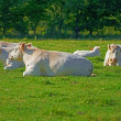 A photo of white cows on a green field - Stock Photo