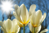 A photo of white tulips — Stock Photo