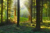 Ein foto-sunrise in einem pinienwald — Stockfoto