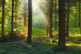 A photo sunrise in a pine forest — Stock Photo