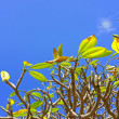 A photo the Frangipani (Plumeria) tree - Stock Photo