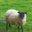 A photo of sheep in New Zealand — Foto de Stock