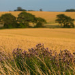 A landscape photo of rape wheat field - Stock Photo