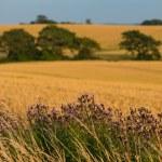 A landscape photo of rape wheat field — Stock Photo #19775111
