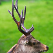 A telephoto of a male deer - Stok fotoğraf