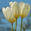 Wonderful white tulips in springtime — Stock Photo