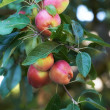 A photo of apples in natural setting — Stock Photo