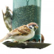 Royalty-Free Stock Photo: A tele photo of a sparrow