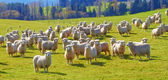 A photo of lots of sheep in natural setting — Stock Photo