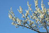 Zdjęcie kwiatów jabłko — Zdjęcie stockowe
