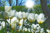 A photo of white tulips early morning in sunshine — Stock Photo