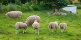A photo of sheeps in natural setting — Stock Photo