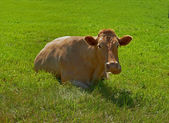 A photo of a cow in natural setting — Stock Photo