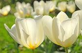 A photo of white garden tulips — Stock Photo