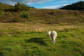 A photo of sheep in New Zealand — Stock Photo