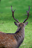 A telephoto of a male deer — Stock Photo