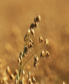 A telephoto of a wheat field — Stock Photo
