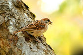 A tele photo of a sparrow — Stock Photo