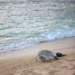 A photo of a seal on a beach, Oahu, Hawaii - Stock Photo