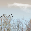 A photo of black ravens on trees - Stock Photo
