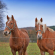 Royalty-Free Stock Photo: A photo of beautiful brown horses on farmland