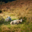A photo of sheep in Rebild National Park, Denmark - Стоковая фотография